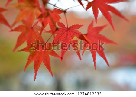 closeup of beautiful maple leaves #1274812333