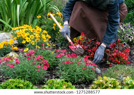 Woman cares about  flowers in the flower garden,  horticulture and the flower planting concept #1275288577