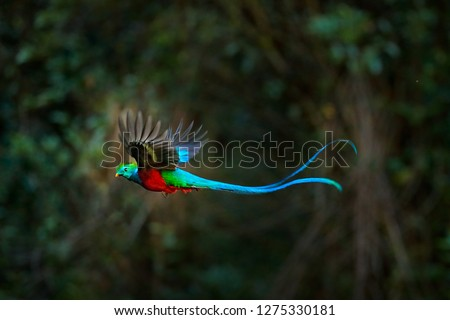 Flying Resplendent Quetzal, Pharomachrus mocinno, Costa Rica, with green forest in background. Magnificent sacred green and red bird. Action flight moment with Quetzal, beautiful exotic tropic bird. #1275330181