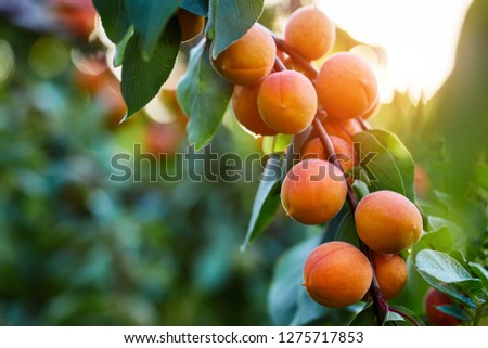 A bunch of ripe apricots branch in sunlight #1275717853