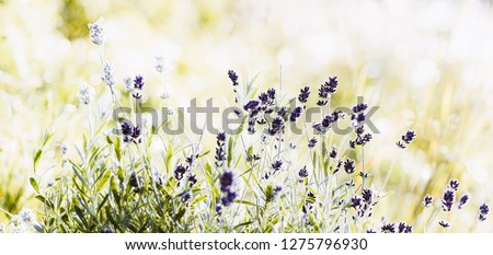 Blossoming Lavender flowers on sunny background #1275796930