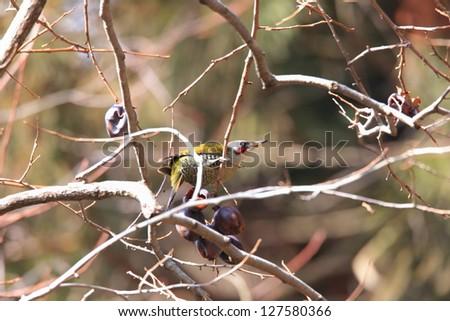 Japanese green woodpecker (Picus awokera) in Japan #127580366