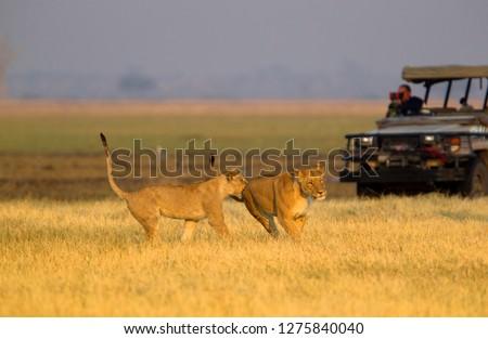 Lion (Panthera leo), eating, Savuti, Chobe National Park, Botswana.