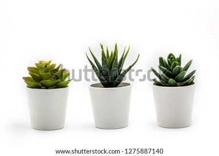 Natural green succulents cactus, Haworthia attenuata in white flowerpot isolated on white background #1275887140