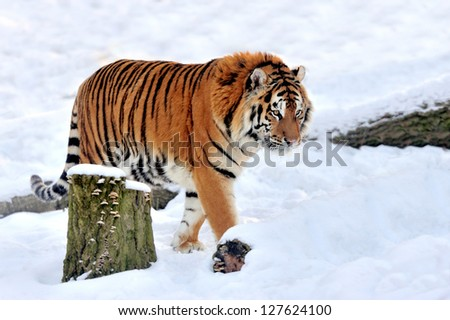 Beautiful wild siberian tiger on snow #127624100