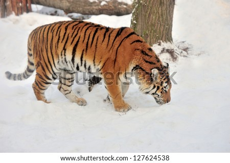 Beautiful wild siberian tiger on snow #127624538