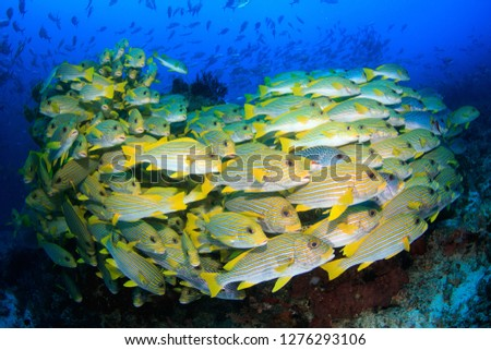 Big school of yellow sweetlips fish form a dense school in the underwater paradise of Raja Ampat, Indonesia – best scuba diving in the world #1276293106