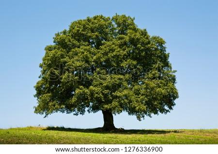 Oak Tree Photo Royalty-Free Stock Photo #1276336900