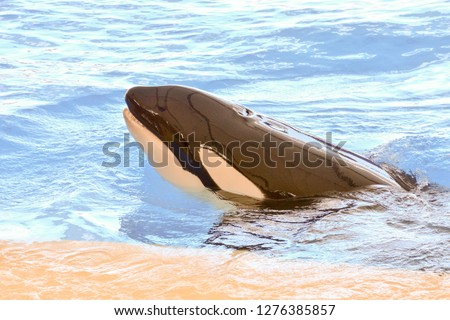 Photo Picture of a Mammal Orca Killer Whale Fish