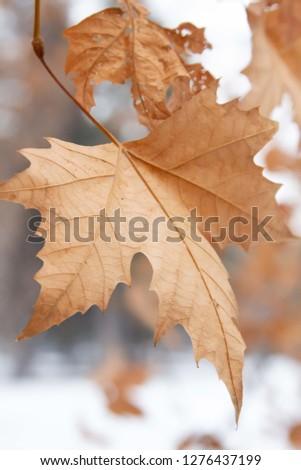 Winter Park Leaf #1276437199