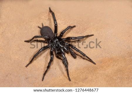 Sydney Funnel Web Spider #1276448677