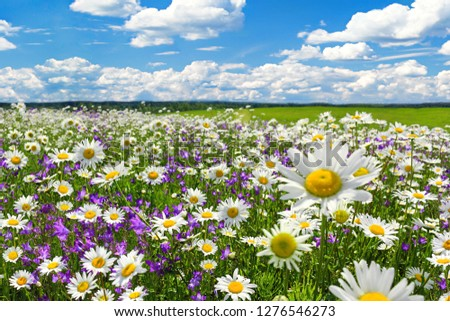 spring landscape with flowering flowers on meadow. white chamomile and purple bluebells blossom on field. summer view of blooming wild flowers in meadow #1276546273