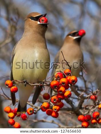 Cedar Waxwings eating red berries #127656650