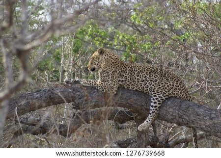 Leopard in a tree #1276739668
