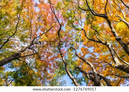Beautiful red and green maple leaf tree in autumn season #1276769017