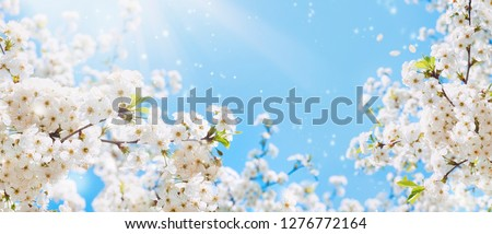 Branches of blossoming cherry macro with soft focus on gentle light blue sky background in sunlight with copy space. Beautiful floral image of spring nature. #1276772164