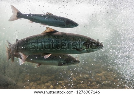 Salmon swimming against river current. Norway, Europe. Stavanger region, Rogaland, Ryfylke scenic route. Salmon in these rivers is a very significant part of the worldwide stock of Atlantic salmon. #1276907146