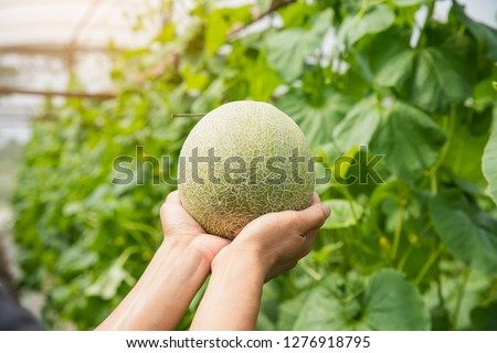 Melons in the garden, Yong man holding melon in greenhouse melon farm. Young sprout of Japanese melons  growing in greenhouse. #1276918795