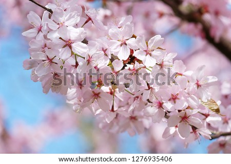 Cherry blossom on blur background.Pink cherry blossom.Flowers art for background.Beautiful cherry blossom. Cherry blossom in spring. #1276935406