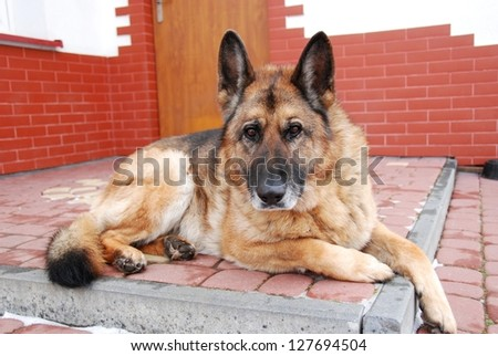 This is a bitch of german sheep dog. #127694504