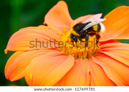 Bumble bee pollinating a flower #127699781
