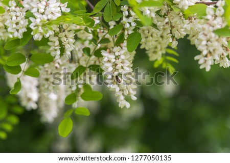Honey bee collects nectar from white flowers tree acacia. Blooming clusters of acacia. Honey spring plant. Collect nectar. Branches of black locust, Robinia pseudoacacia, false acacia. Closeup, macro. #1277050135