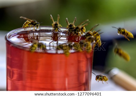 Wasps on glass with drink. Wasps feast. Wasps on the glass of sweet drink. Wasps are winged insects which has narrow waist and sting and is typically yellow with black stripes. #1277096401