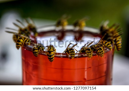 Wasps on glass with drink. Wasps feast. Wasps on the glass of sweet drink. Wasps are winged insects which has narrow waist and sting and is typically yellow with black stripes. #1277097154