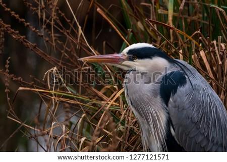 Grey Heron Portrait #1277121571