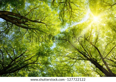The warm spring sun shining through the canopy of tall beech trees #127722122