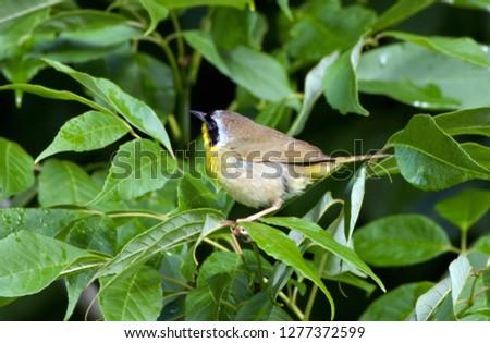 Common Yellow throat Warbler #1277372599