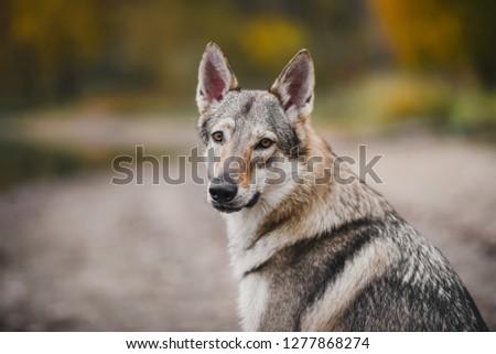 wolf dog portrait in autumn forest #1277868274