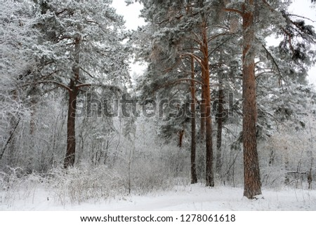 Forest in winter is completely frozen in russia. Temperature is -30°C and everything is white and slow. #1278061618
