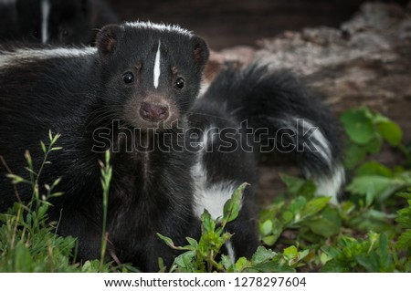 Striped Skunk (Mephitis mephitis) Doe Peers Out From Ground Summer - captive animal #1278297604