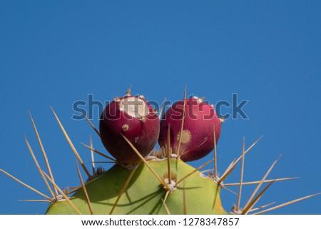 prickly pear cactus #1278347857