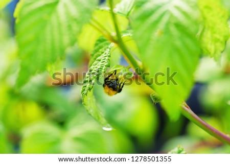 Bee on Flower of Raspberry. Stock Photo.Macro photo of bee pollinating flower of raspberry.Selective focus. #1278501355