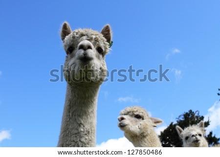 Curious white alpacas on the farm #127850486