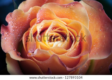 Red and orange rose flower close-up photo with shallow depth of field #127893104
