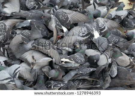 Pigeons flocked together on street, a common sight in urban areas #1278946393