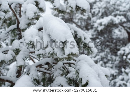 Christmas tree in the snow close-up, winter forest #1279015831