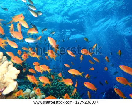 Underwater world in deep water in coral reef and plants flowers flora in blue world marine wildlife, travel nature beauty exploration diving trip,adventures recreation dive. Fish, corals, sea creature #1279236097