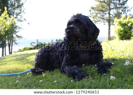 Portuguese Water Dog relaxing and enjoying summer vacation. #1279240651