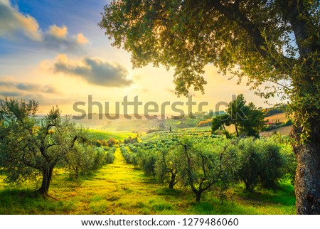 Maremma countryside panoramic view, olive trees, rolling hills and green fields on sunset. Sea on the horizon. Casale Marittimo, Pisa, Tuscany Italy Europe. #1279486060