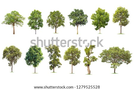 Isolated big tree on white background ,The collection of trees. Large trees database Botanical garden organization elements of Asian nature in Thailand, #1279525528