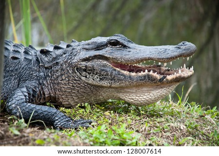American Alligator in the Everglades National Park. Closeup of the big mouth and teeth.
