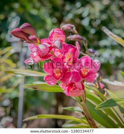 Cymbidium orchid, Orissa Christmas tree, Orchid family #1280134477