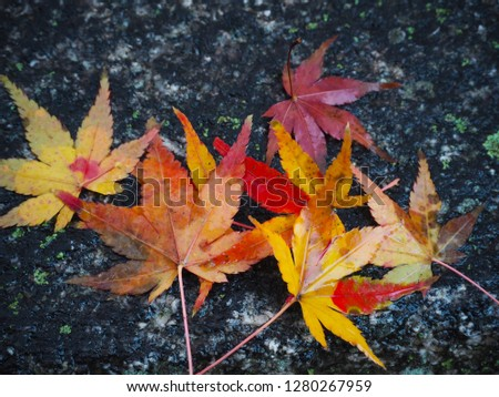 Maple leaves change color in Japan autumn. #1280267959