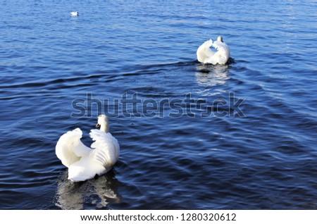 swans swimming away #1280320612