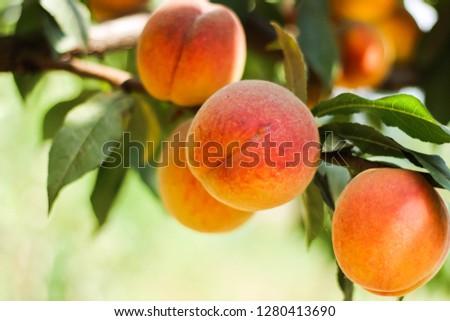 peach on the tree #1280413690