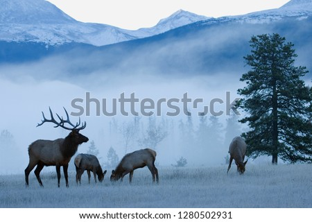 Rocky Mountain Bull Elk and Cows, Frosty Morning Royalty-Free Stock Photo #1280502931
